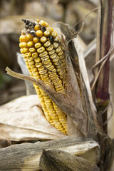 Corn rot on ear of corn