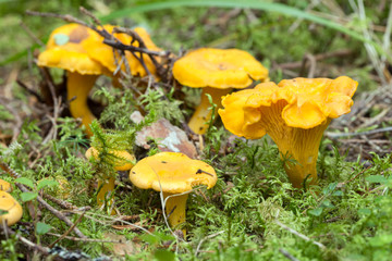 Chanterelle, Cantharellus cibarius growing among moss