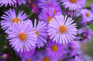 Macro of violet flower.
