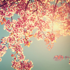 Wall Mural - Retro nature background of beautiful cherry pink flower in spring