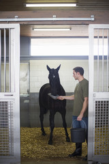 Male stablehands feeding black horse in stables