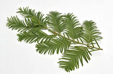 einzelner Zweig von einem Urwelt Mammutbaum auf Weiss