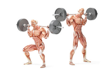 Barbell Squat Exercise. Anatomical 3D illustration. Isolated wit