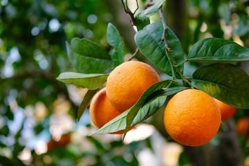 Arance - Agrumi di Sicilia