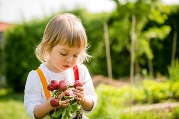 Harvest - picking up radishes