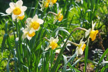 narcissus in garden