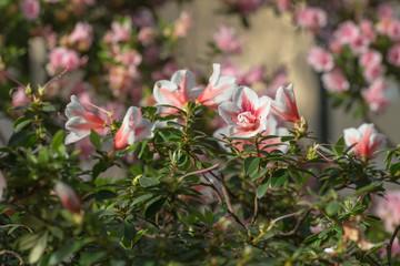 red and white azalea