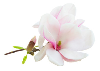 Photo sur Aluminium Magnolia Blossoming pink magnolia Flowers