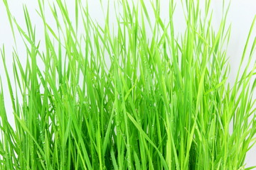fresh sprouted wheat grass with water drops in white background