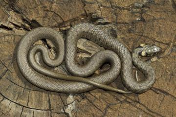 Non venomous  Grass snake