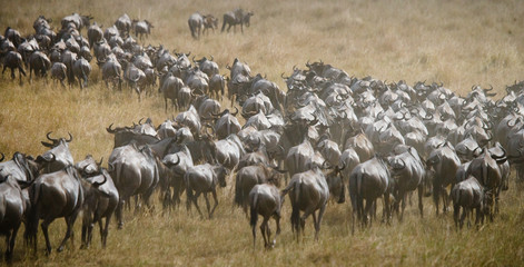 herd photos royalty free images graphics vectors videos adobe