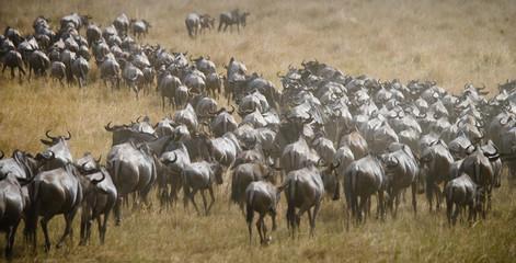 Big herd of wildebeest in the savannah. Great Migration. Kenya. Tanzania. Masai Mara National Park. An excellent illustration. Wall mural