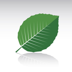 Green Beech Leaf. Vector illustration and icon.