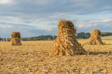 Corn Shocks in Farm Field
