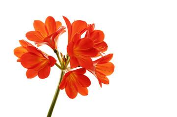 Orange Clivia miniata. Macro. Orange Clivia miniata isolated on white background.