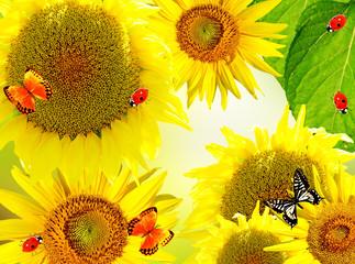 Beautiful sunflower. Closeup of a beautiful sunflower