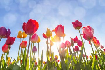 Tulip Flowers Under the Morning Sun