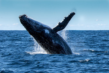 Breaching Humpback Whale (Megaptera novaeangliae), Port Stephens, Australia