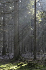 Fototapete - Sunbeam entering coniferous stand in misty morning with old spruce tree in foreground,Bialowieza Forest,Poland,Europe