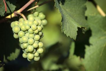 Chardonnay white wine grapes vineyard burgundy france closeup