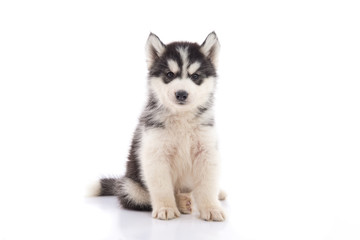Cute siberian husky puppy sitting