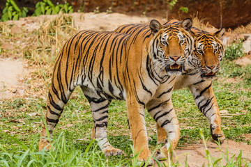 An Indian tiger in the wild. Royal, Bengal tiger