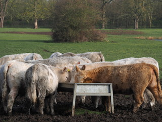 Cattle eating from a trough in a field