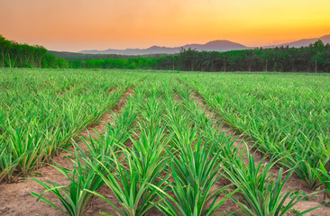 Pineapple field with mountain in sunset time.