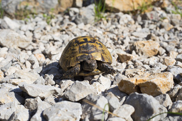 Turtle crawling on the rocky slope.