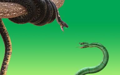 King cobra and green snake fighting and attacking each other isolated on green background. 3D rendered model