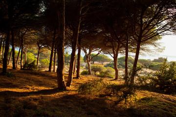 Natural park Barbate tree pine  -  mirador cliffs