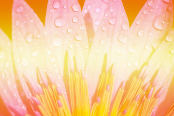 lotus flower background ..Light yellow, red