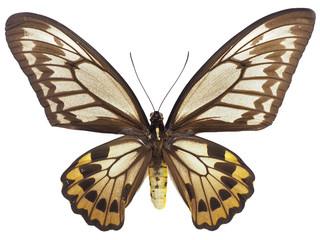 アカメガネトリバネアゲハ♀