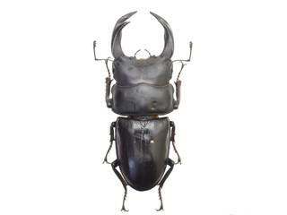 日本産オオクワガタ73mm♂(Dorcus hopei binodulosus)