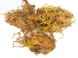 イザベラミズアオの繭(Graellsia isabellae Cocoon)