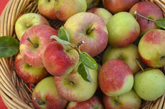 Basket of Fresh Handpicked Cox Apples