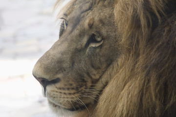 lion head closeup of a pensive look in profile