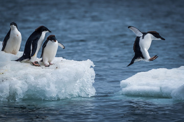 Foto op Canvas Pinguin Adelie penguin jumping between two ice floes