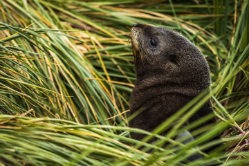 Antarctic fur seal pup among grass tussocks