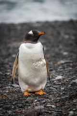 Gentoo penguin looking at camera on shingle