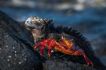 Marine iguana and juvenile Sally Lightfoot crab