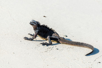 Marine iguana crouched on white sandy beach