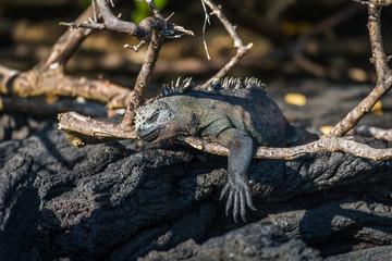 Marine iguana dangling leg over dead branch