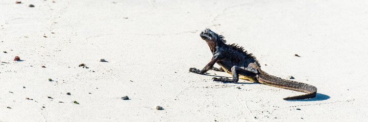 Marine iguana lying on white sandy beach