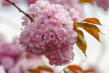 pink flowers of sakura branches on blury background