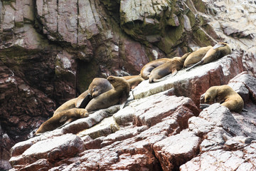 Sea lions fighting for a rock in the peruvian coast at Ballestas