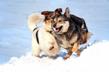 two dogs play in the snow , revealing sharp teeth