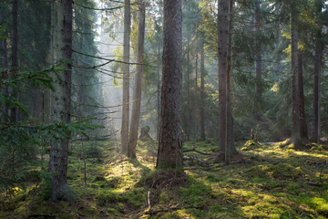 Fototapete - Sunbeam entering old coniferous stand of Bialowieza Forest