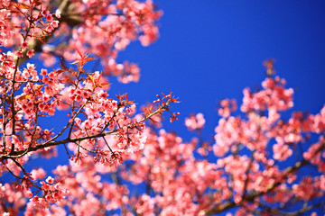 Beautiful cherry blossom, Chiang Mai, Thailand