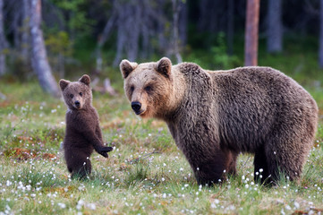 Mother bear and cub